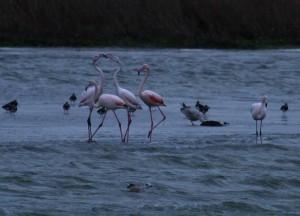 Flamingo's, Kinselbaai, Durgerdam. 2 Foto Bob van den Broek