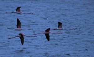 Flamingo's, Kinselbaai, Durgerdam. 3 Foto Bob van den Broek