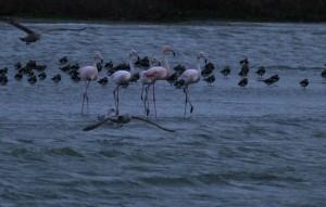 Flamingo's, Kinselbaai, Durgerdam. Foto Bob van den Broek